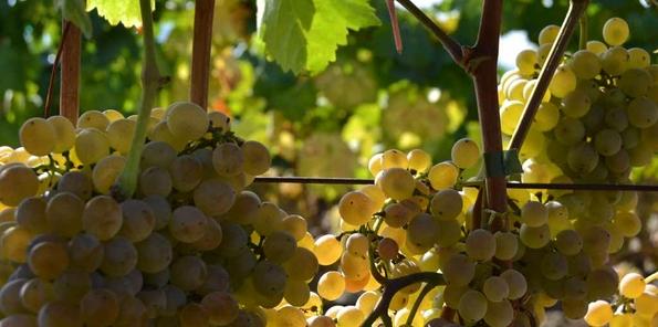 Racimo de uva Loureira