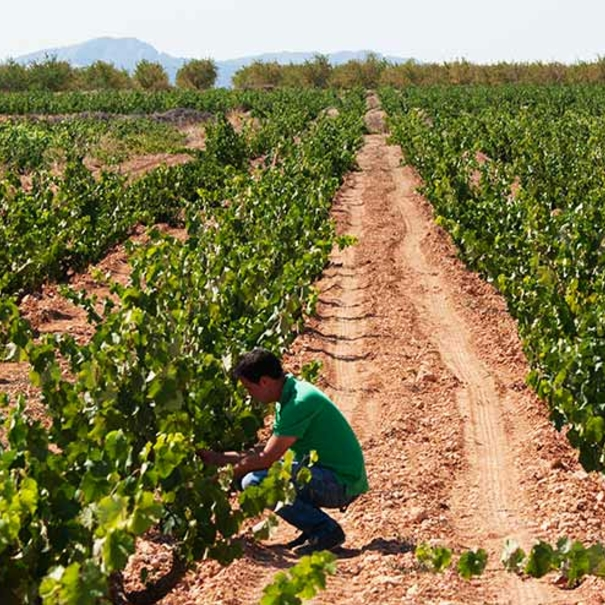 Trabajos en la viña