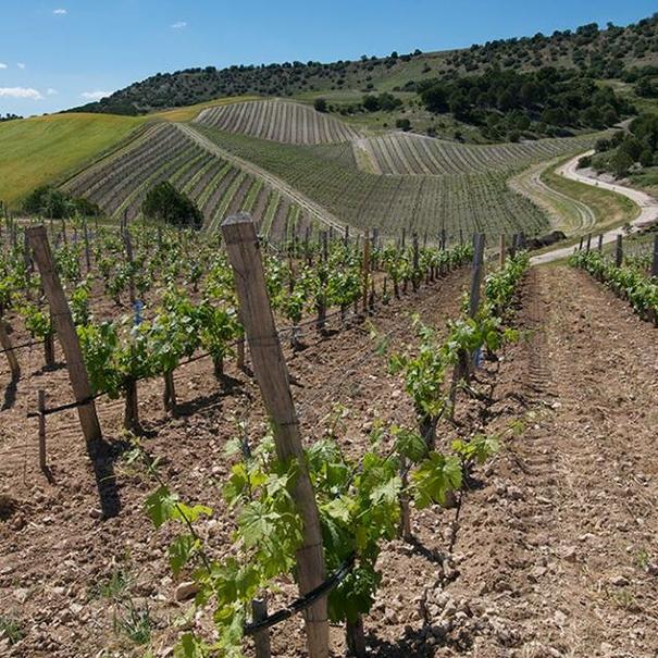 Panorámica de viñedos en Quinta Sardonia