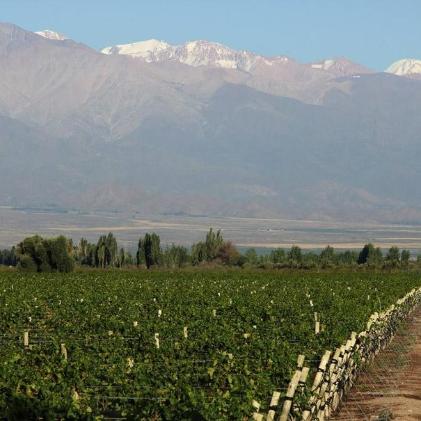 Viñedo con Los Andes al fondo