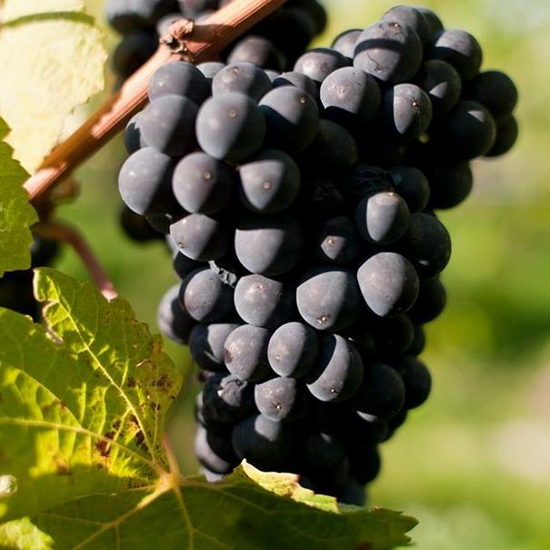 Detalle de la Pinot noir