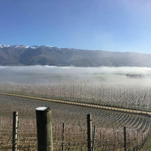 Niebla en viñedo