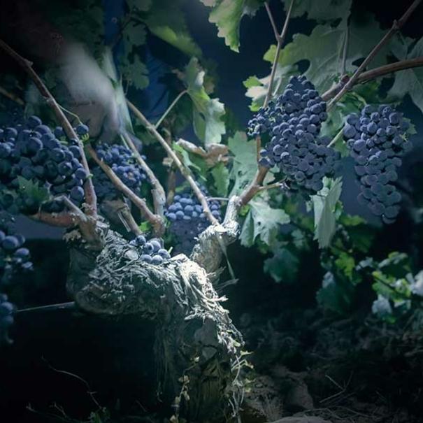 Imagen de las uvas de noche