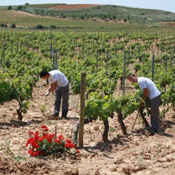 Trabajos a pie de viñedo