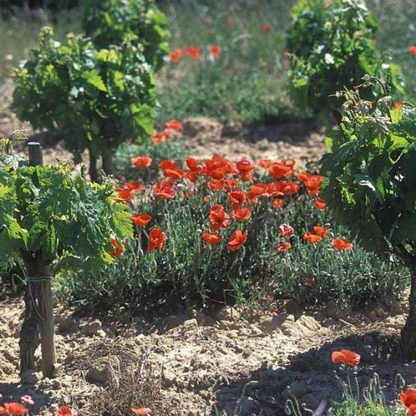 Imagen del cultivo ecológico