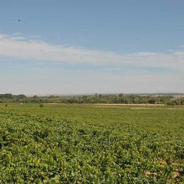 Panorámica de viñedos en llanura