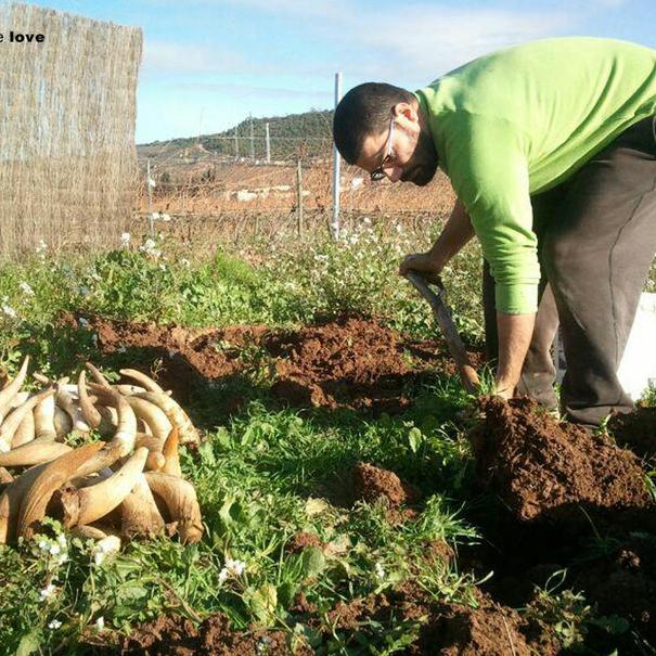 Gonzalo utiliza cuernos de vaca y abono en sus tierras