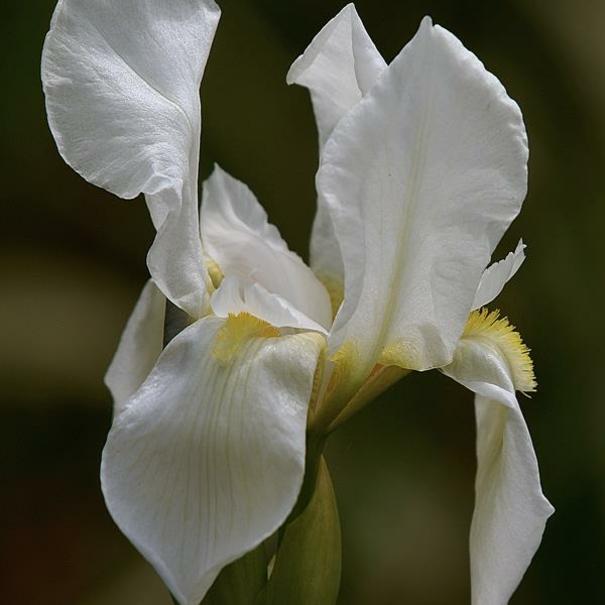 Iris de Florencia