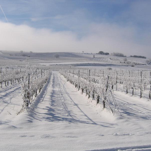 El viñedo nevado