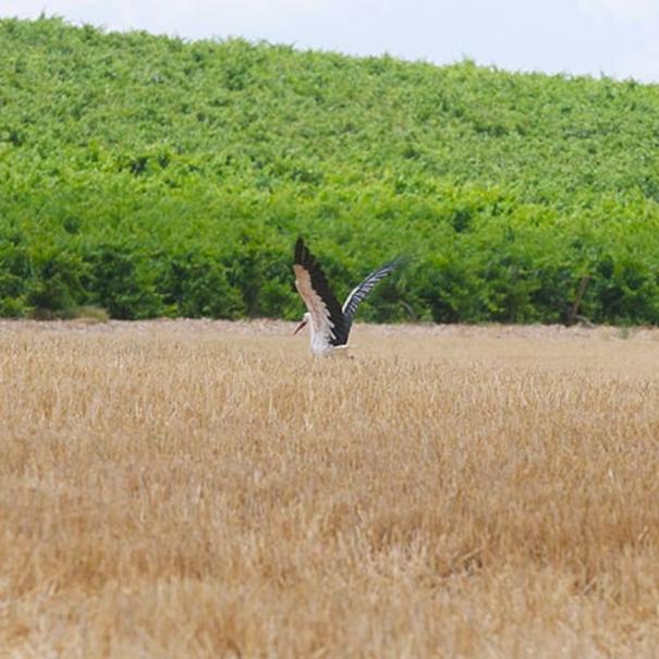 Cigüeña sobrevolando el viñedo