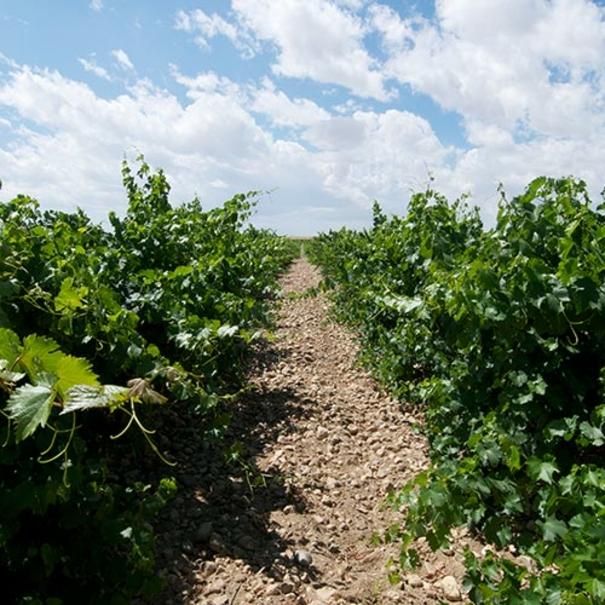 Hilera de viñedos