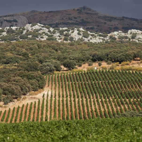 Olivos rodeando las viñas