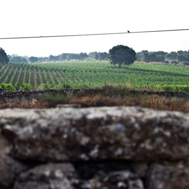 Panorámica del viñedo El Encinar