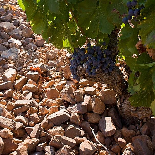 Detalle del suelo y de la uva