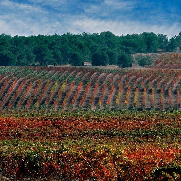 Viñedo de Bodegas Áster en otoño