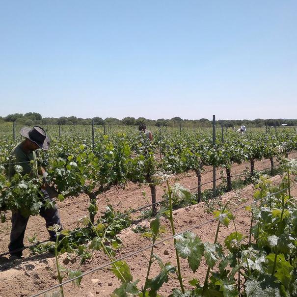 Vista de los viñedos de Barcolobo