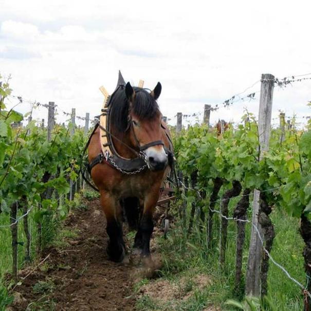 La bodega practica la viticultura biodinámica