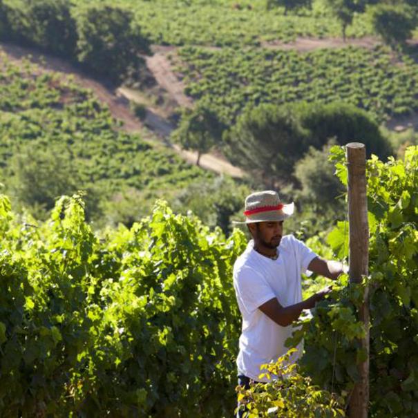Trabajo en la viña