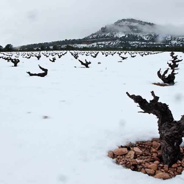 Panorámica del viñedo nevado