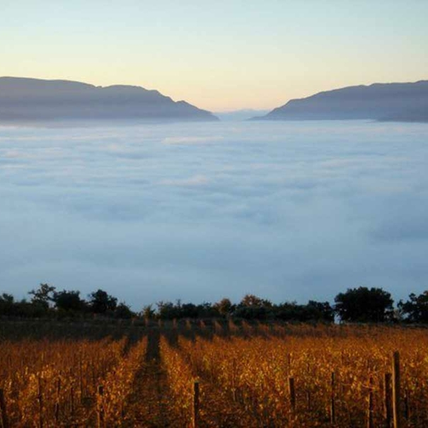 La niebla cae sobre la viña