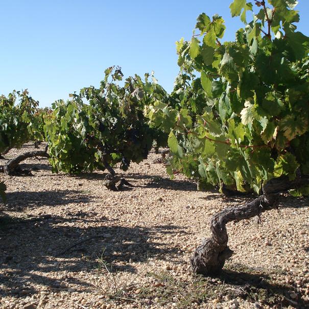 Cepas donde obtiene sus vinos César Muñoz