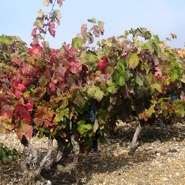 Viñas viejas de Tempranillo