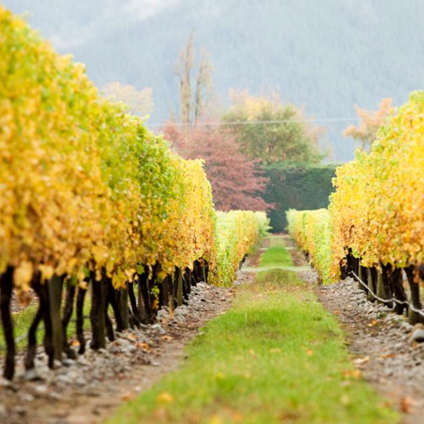 Los viñedos en Otoño