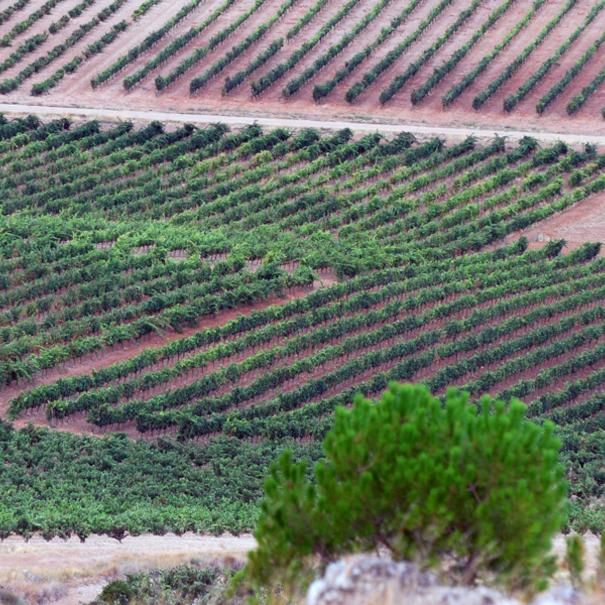 Panorámica de viñedos de Comenge