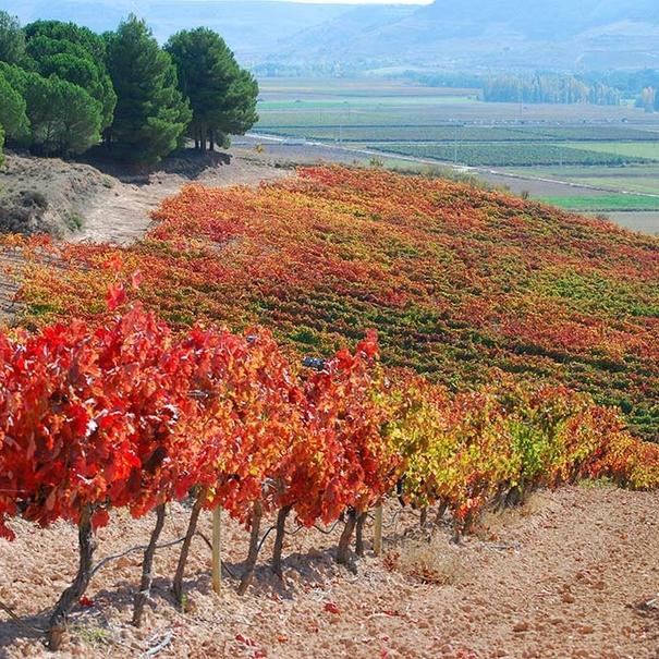 Imagen otoñal de los viñedos de Comenge