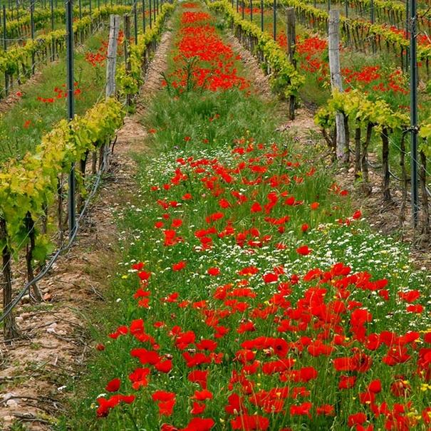 Las flores actúan para prevenir enfermedades en el viñedo