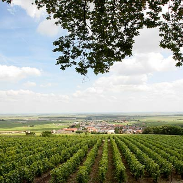 Viñas de Delamotte