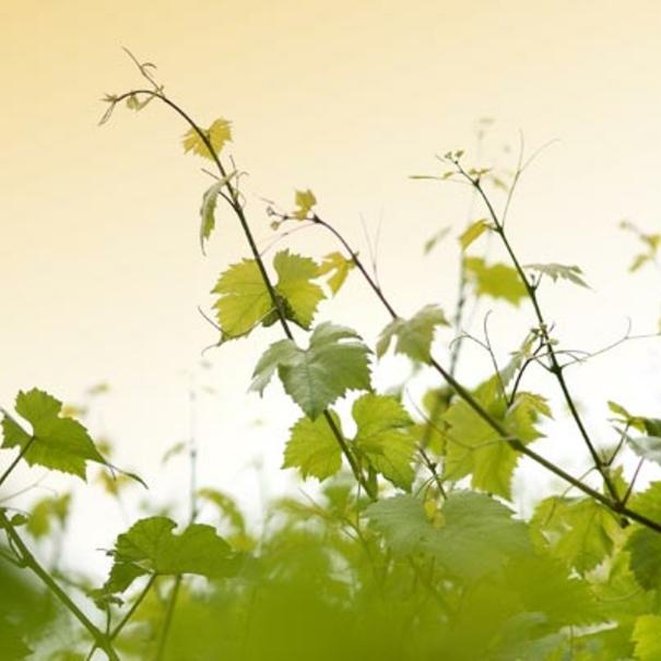 Bodega Delamotte, viñas.