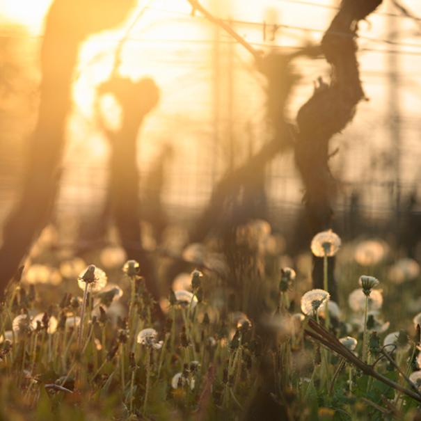 Detalle de las flores que crecen en el viñedo