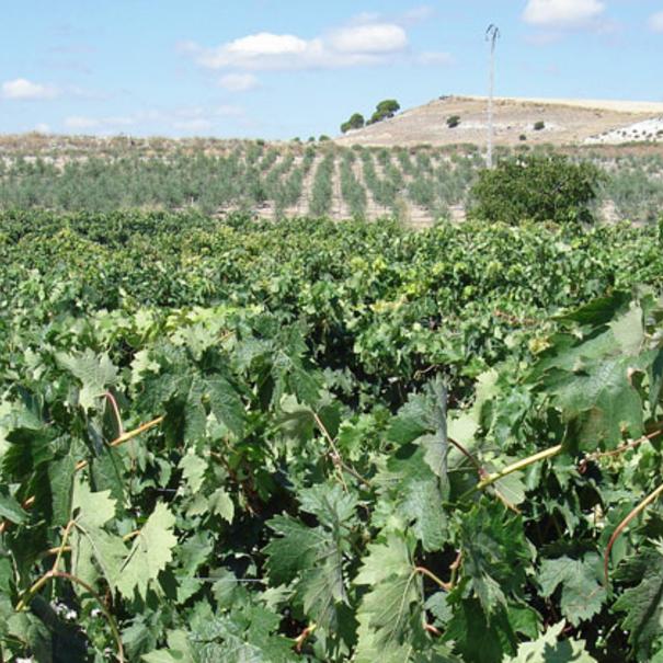 Panorámica de los viñedos en Medina del Campo