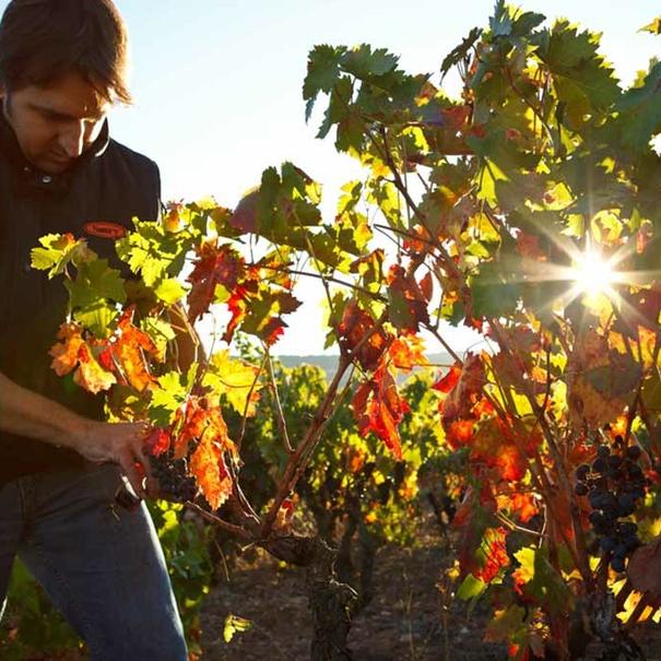 Trabajo en viñedo