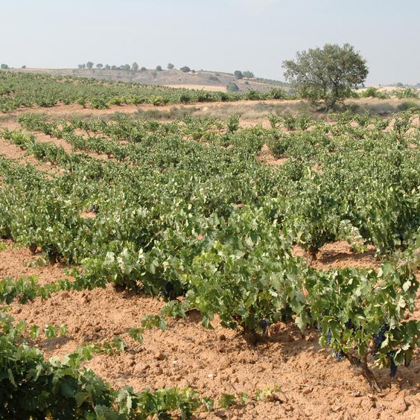 Algunos de los viñedos de Ferratus son los más antiguos de Burgos