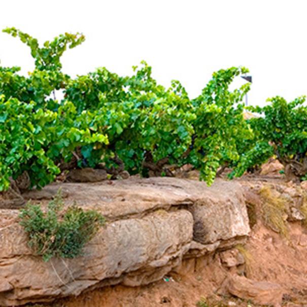 Detalle del viñedo de FInca Nueva