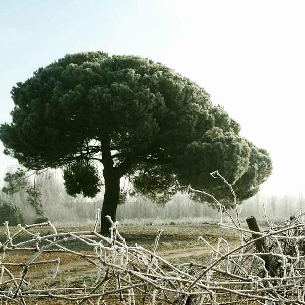 Paisaje de invierno en el viñedo
