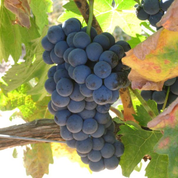 Detalle de la uva