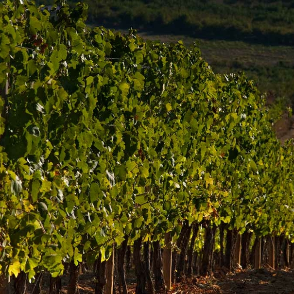 Detalle de los viñedos