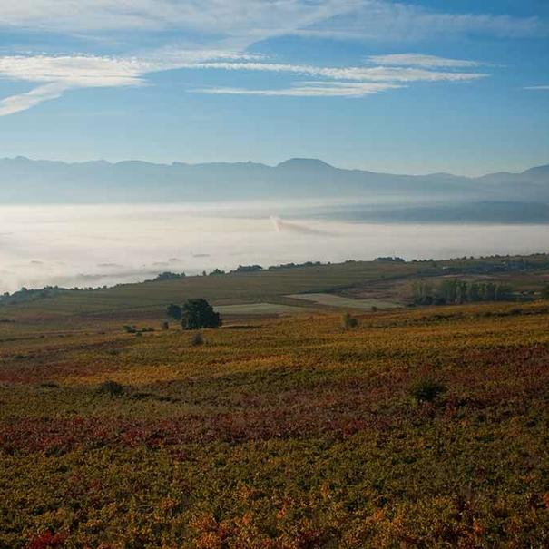 Imagen del viñedo con la nieba de la mañana al fondo