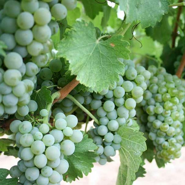 Viña con Sauvignon Blanc