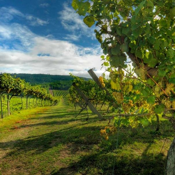 Camino entre las viñas