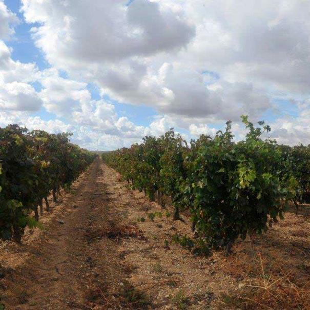 Imagen de las viñas, calificadas como excelentes por la Universidad Politécnica