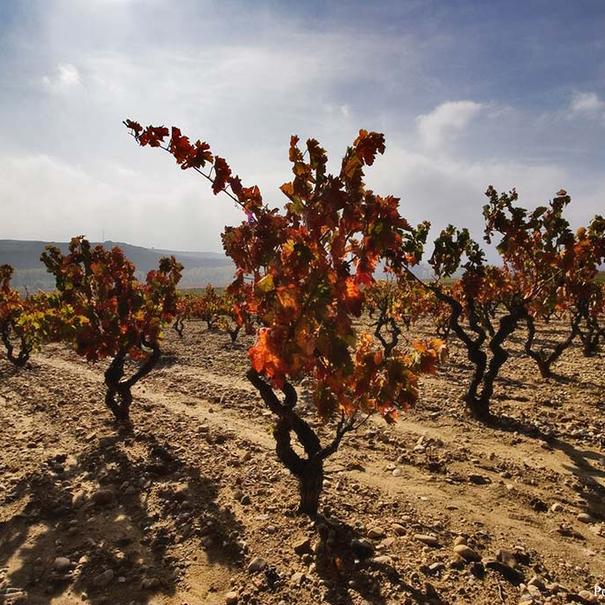 Imagen de algunas de las viñas de mayor edad