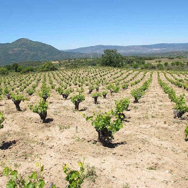 Imágenes de los viñedos