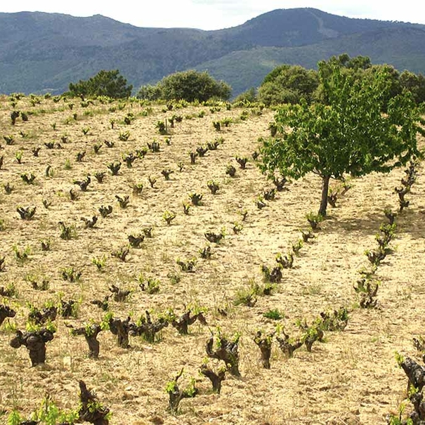 Los viñedos situados en hileras