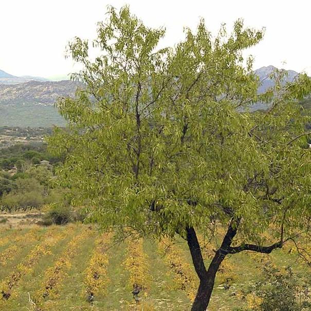 Uno de los árboles que se combina con las vides