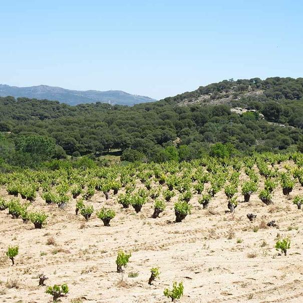 Las cepas plantadas en un suelo mayoritariamente franco-arenoso