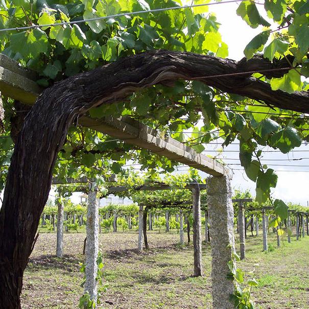Detalle del viñedo